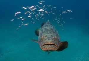 Goliath grouper (Epinephelus itajara), Jupiter, Florida