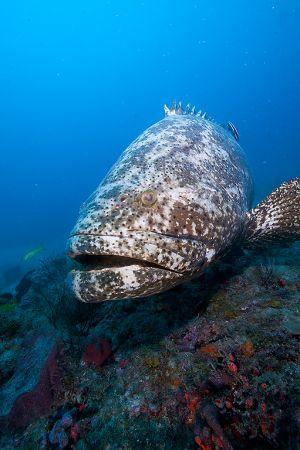 Goliath grouper (Epinephelus itajara),Jupiter, Florida