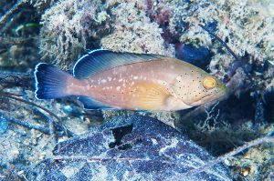 Red grouper (Epinphelus morio), Indian River Lagoon, Florida