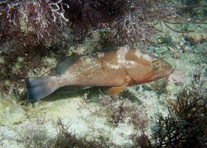 Red grouper (Epinphelus morio), Sarasota, Florida