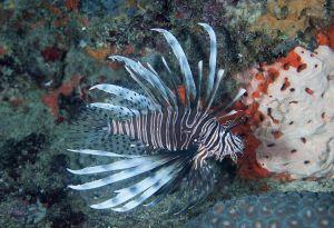 Red lionfish (Pterois volitans), Jupiter, Florida