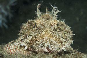 Spotted scorpionfish (Scorpaena plumieri), Lake Worth Lagoon, Florida