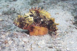 Barbfish (Scorpaena brasiliensis), Lake Worth Lagoon, Florida
