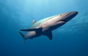 Silky shark (Carcharhinus falciformis) Jupiter, Florida