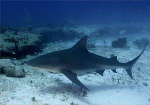 Bull shark (Carcharhinus leucas) Great Bahama Bank, Bahamas