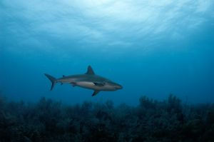 Reef shark (Carcharhinus perezi) Little Bahama Bank, Bahamas