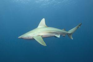 Sandbar shark (Carcharhinus plumbeus) Jupiter, Florida