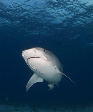 Tiger shark (Galeocerdo_cuvier) Little Bahama Bank, Bahamas