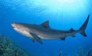 Tiger shark (Galeocerdo cuvier) Little Bahama Bank, Bahamas