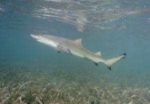 Lemon shark (Negaprion brevirostris), juvenile, Islamorada, Florida