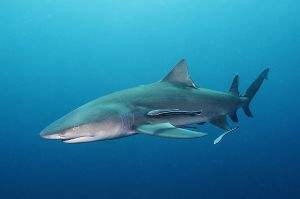 Lemon shark (Negaprion brevirostris) Jupiter, Florida