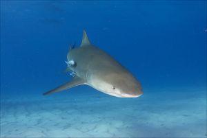 Lemon shark (Negaprion brevirostris) Little Bahama Bank, Bahamas