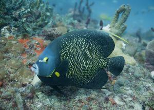 French angelfish (Pomacanthus paru), Hillsboro, Florida