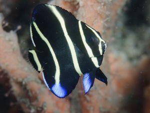 Gray angelfish (Pomacanthus arcuatus), juvenile, Lake Worth Lagoon, Florida