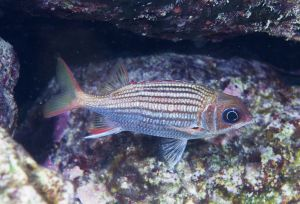 Dusky squirrelfish (Holocentrus vexillarium),Little Bahama Bank, Bahamas