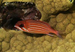 Reef squirrelfish (Sargocentron coruscum), Little Bahama Bank, Bahamas