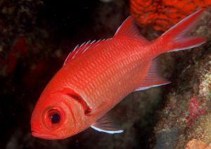 Blackbar soldierfish (Myripristis jacobus), Jupiter, Florida