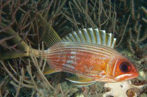Longspine squirrelfish (Holocentrus rufus), Juno, Florida