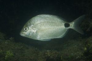 Silver porgy (Diplodus argenteus), Singer Island, Florida
