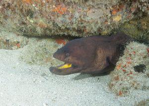 Stout moray (Muraena robusta), Jupiter, Florida