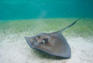 Southern stingray (Dasyatis americana), Little Bahama Bank, Bahamas
