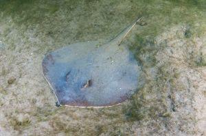 Atlantic stingray (Dasyatis sabina), Loxahatchee RIver, Florida