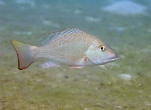 Mutton snapper (Lutjanus analis), Lake Worth Lagoon, Florida