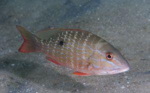 Mutton snapper (Lutjanus analis), juvenile, Lake Worth Lagoon, Florida