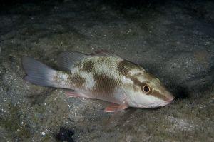 Gray snapper (Lutjanus griseus), Jupiter, Florida