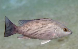 Gray snapper (Lutjanus griseus) Lake Worth Lagoon, Florida