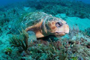 Loggerhead turtle (Caretta caretta), Jupiter, Florida