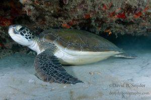 Green turtle (Chelonia mydas), Jupiter, Florida