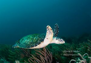 Hawksbill turtle (Eretmochelys imbricata), Juno, Florida