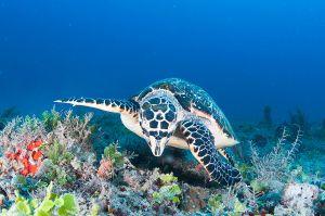 Hawksbill turtle (Eretmochelys imbricata) Jupiter, Florida
