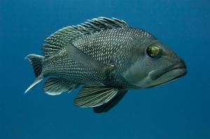 Black seabass (Centropristis striata), Palm Beach, Florida