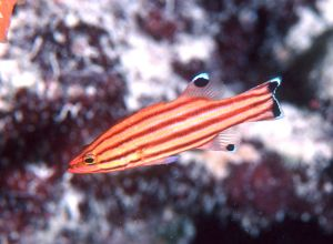 Peppermint basslet (Liopropoma rubre), Berry Islands, Bahamas