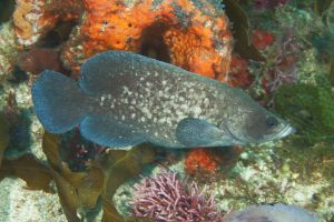 Greater soapfish (Rypticus saponaceous), Jupiter, Florida