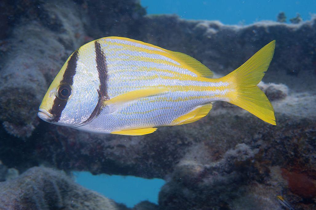 Anisotremus_virginicus_Marquesas_Florida_DBS0491.jpg