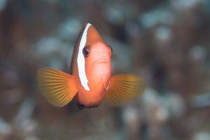 Red and black anemonefish (Amphiprion melanopus), Apra Harbor, Guam
