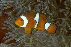 Clown anemonefish (Amphiprion percula), Solomon Islands