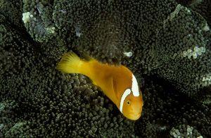 White-bonnet anemonefish (Amphiprion luecokranos), Solomon Islands