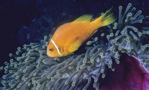 Maldive anemonefish (Amphiprion nigripes), Vilinigili, South Male Atoll, Maldives