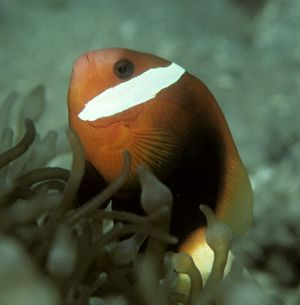 Red and black anemonefish (Amphiprion melanopus), Solomon Islands