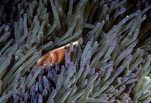 Pink anemonefish (Amphiprion perideraion), Solomon Islands
