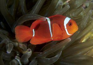Spinecheek anemonefish (Premnas bimaculatus), Solomon Islands