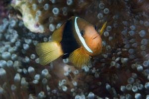 Red and black anemonefish (Amphiprion melanopus), Guam