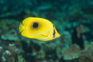 Eclipse butterflyfish (Chaetodon bennetti), Apra Harbor, Guam