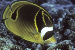 Racoon butterflyfish (Chaetoson lunula),  South Male Atoll, Maldives