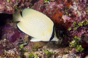 Speckled butterflyfish (Chaetodon citrinellus), Guam