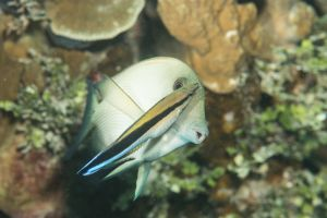 Bluestreak cleaner wrasse (Labroides dimidiatus), Apra-Harbor, Guam